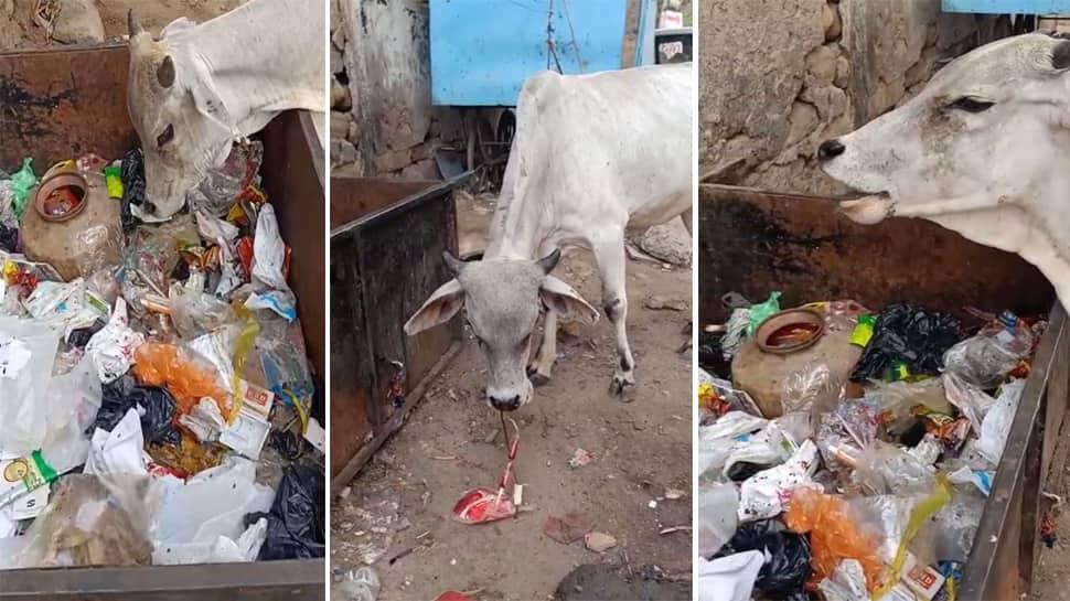 ભુજ શહેરમાં બાયો મેડિકલ વેસ્ટ ખાતી ગાયના વાયરલ વીડીયોએ મચાવી ચકચાર