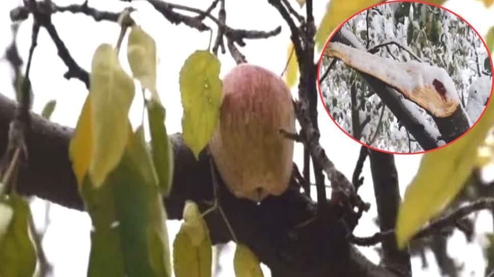 જમ્મૂ-કાશ્મીર: ભારે હિમવર્ષાથી સફરજન અને બદામના ઝાડ તૂટી ગયા, અનેક વિસ્તારોમાં ભારે નુકસાન