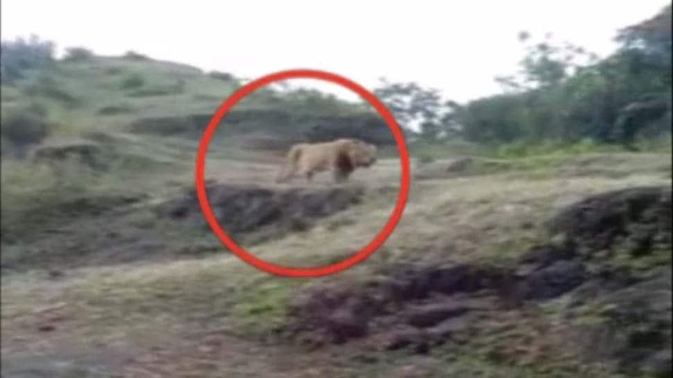 Video : કોઈએ વિચાર્યું પણ નહિ હોય કે ચોટીલામાં સિંહ પહોંચશે, એકસાથે 2 સિંહોના આંટાફેરા