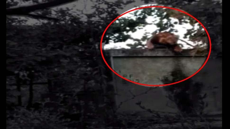 Video : રોજ 15 ફૂટની દિવાલ ઓળંગી પ્રેમિકા સિંહણને મળવા પહોંચી જાય છે 'જંગલનો સિંહ'