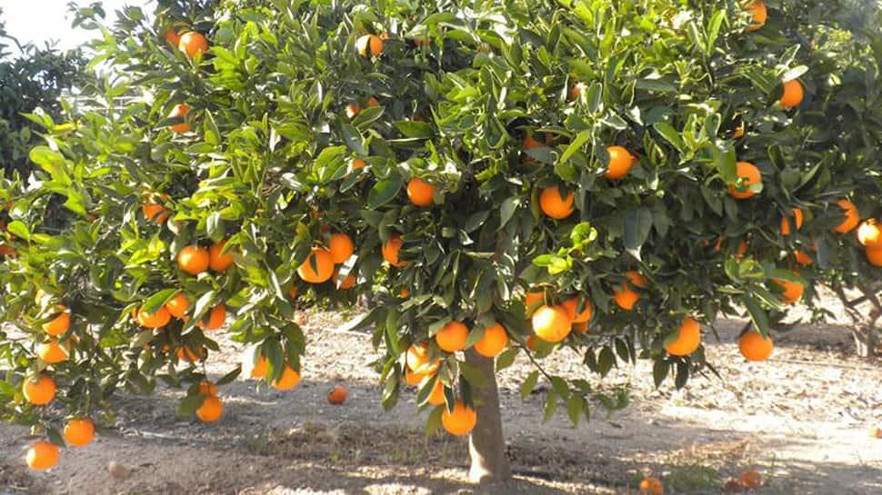 New Innovation: આ દેશમાં નારંગીમાંથી ઉત્પન્નથાય છે વીજળી, છોતરાં પણ ભેગા કરીને રાખે છે લોકો...!