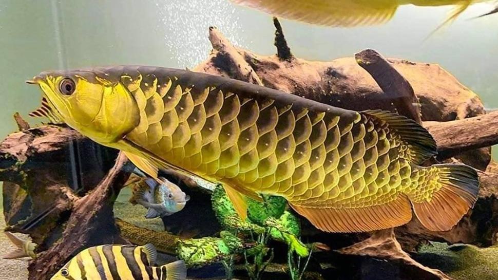 5 ફીટ સુધી ઉપર કૂદી શકે છે આ માછલી