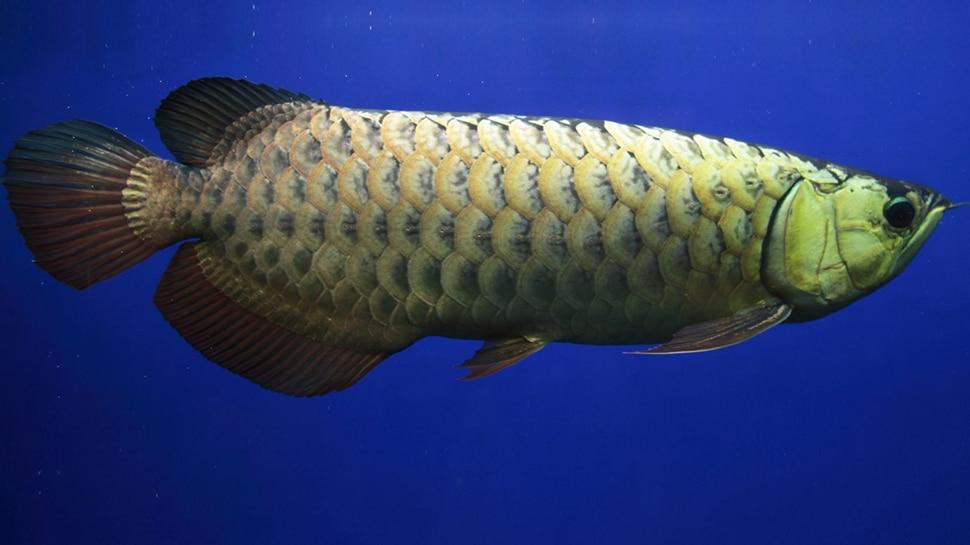 માંસાહારી હોય છે આ માછલી