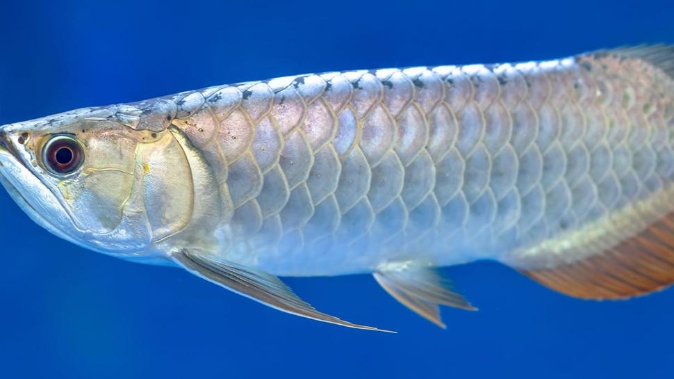 50 દિવસ મોઢામા ઈંડા રાખે છે આ માછલી