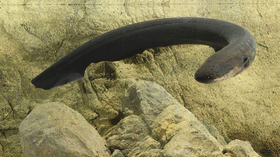 China: Private Part માં આ વિચિત્ર કારણસર ઘૂસાડી દીધી 20 cm લાંબી Eel Fish, પછી જે થયું જાણીને ચોંકશો