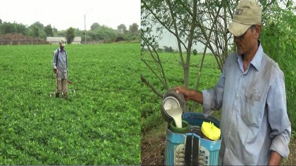 Organic farming: જુનાગઢના ખેડૂતોનો નવતર પ્રયોગ, મગફળીની ખેતી માટે કરે છે અનોખા દ્વાવણનો ઉપયોગ, વર્ષે થાય છે મોટી કમાણી