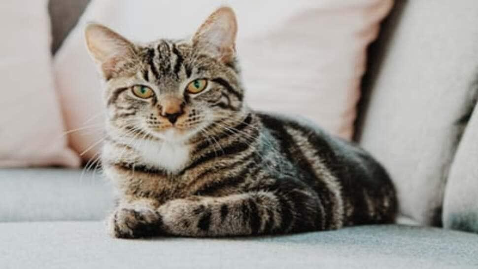 Cat Lovers: ક્યાં પાળવામાં આવે છે સૌથી વધુ બિલાડીઓ? જાણો બિલાડી વિશેની એવી વાતો જે કોઈ નથી જાણતું