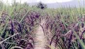 બ્લેક રાઇસની ખેતી કરીને ઓલપાડનો આ ખેડૂત કરે છે લાખોની કમાણી