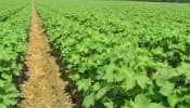 Junagadh: સાર્વત્રિક વરસાદથી ખેડૂતોની ચિંતા ટળી, ચાલુ વર્ષે કપાસ કરતાં સોયાબિનનું વાવેતર વધ્યું