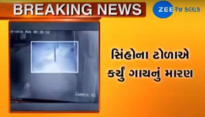 Video : ચાર સિંહો ત્રાટક્યા ગાય પર, શિકાર કેદ થયો CCTVમાં