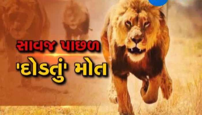 Amreli Lioness and baby lion injures in Train accident.