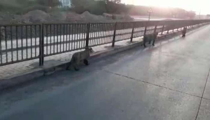 Lion Harrassment Video viral, Two Caught