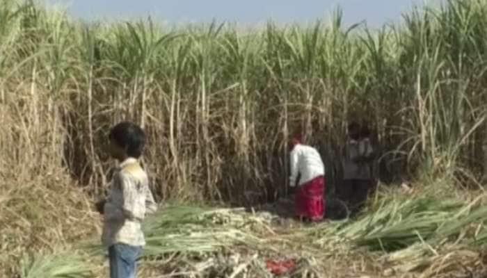 શેરડીનો પાક કરતા ખેડૂતો મુશ્કેલીમાં, ભાવમાં ધરખમ ઘટાડાથી પરેશાન