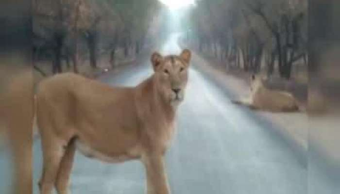 lion family caught at early morning in Junagadh