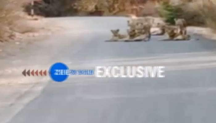 રસ્તા પર ઉતરી આવ્યું સિંહોનું ટોળું, મોજ-મસ્તી કરતા કેમેરામાં થયા કેદ