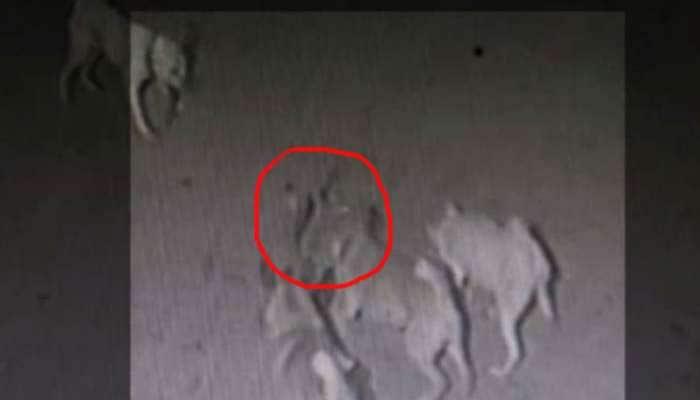 VIDEO: માલિકને બચાવવા કોબરા સાથે કલાકોની લડાઈ બાદ 4 કુતરાએ આપી જાનની કુરબાની