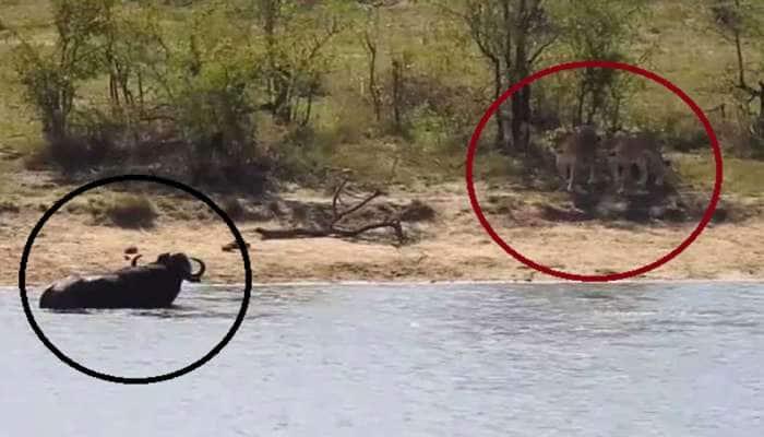 ભારે જોરાવર ભેંસ, પહેલા પાણીમાં મગરમચ્છને પછાડ્યો, પછી સિંહને આપી ધોબીપછાડ, VIDEO