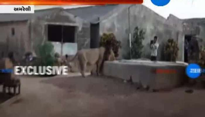 Amreli Lion Came In Village For Water Caught In Camera