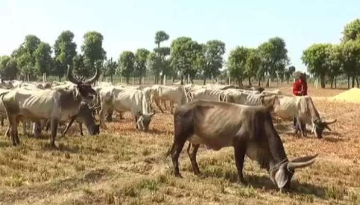 ગુજરાતનો દિલદાર ખેડૂત : 8 દિવસથી ભૂખી ગાયો માટે પોતાનુ બાજરીનું ખેતર ખુલ્લુ મૂક્યું