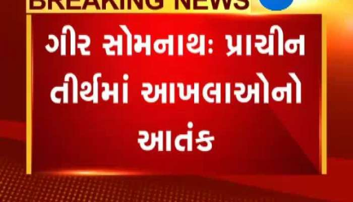 bull attack on person at gir somnath