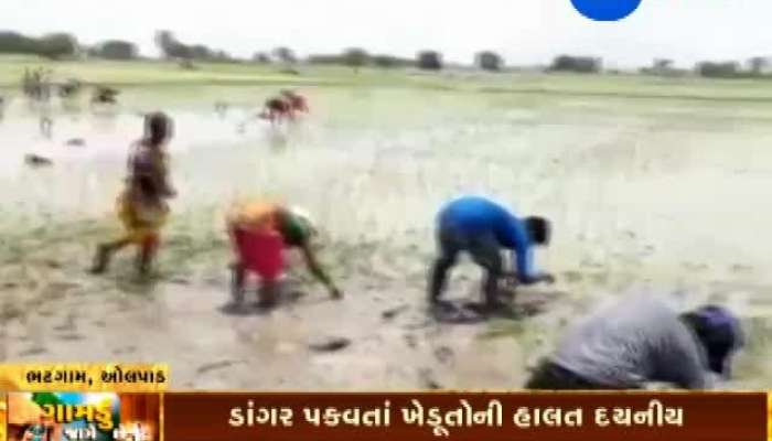 Olpad, Surat: Farmers Distressed Due To Lack Of Rain, 'Gamdu Jage Che'