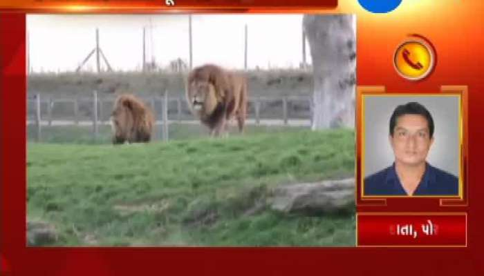 Porbandar: Lioness Gives Birth To Cubs in Barda Sanctuary