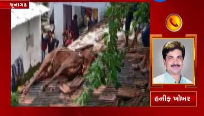 Junagadh: Cow Walks Over Rooftop