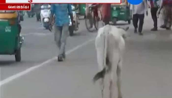 Cattle Torture Increased In Palanpur