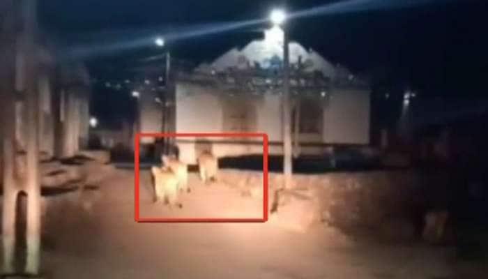 દિવાળી પર ખુશ કરી દેશે આ Video, ગાડી આવતા જ ભાગી ગયું ગામમાં આવેલું 6 સિંહોનું ટોળું