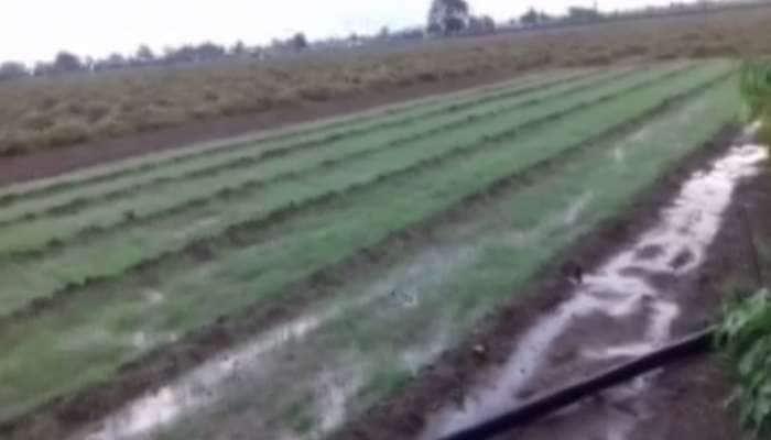 ગુજરાત: પાછોતરા વરસાદે ખેડૂતોને કર્યા પાયમાલ, પાક.ના નામે માત્ર ફોફા જ બચ્યા