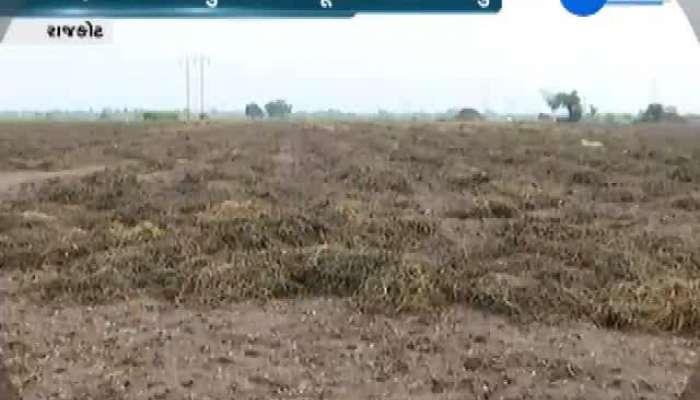 Damage To Groundnut Crop In Rajkot