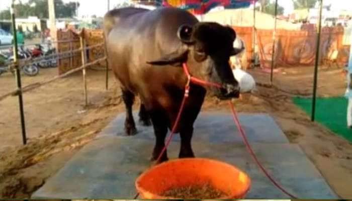 VIDEO: જબરદસ્ત છે આ પાડો...ઘી, માખણ અને કાજૂ-બદામ ખાય છે, કિંમત 15 કરોડ રૂપિયા