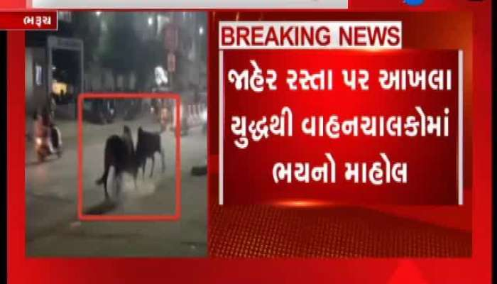 Bharuch: Bull Fight on Public Place