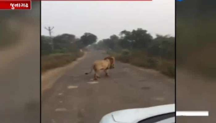 King of the jungle on the road in Junagadh