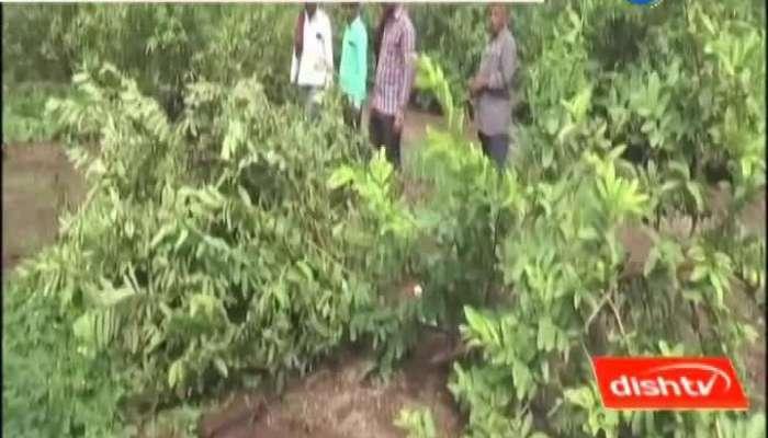 0712 Farmer s nutmeg crop failed