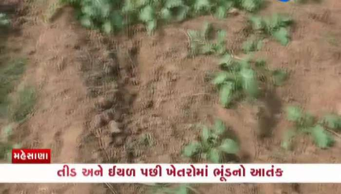 Terror Of Pigs After Caterpillar And Locusts In Mehsana