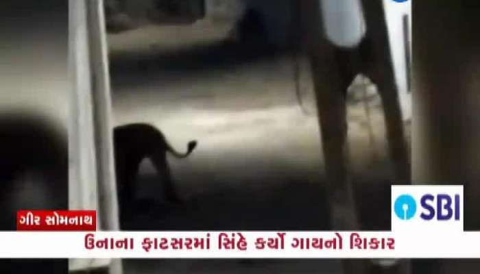 Lion Hunting cow at Gir somnath