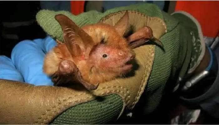 કોરોનાથી દુનિયાને હચમચાવી નાખનારા BATની નવી જ પ્રજાતિ મળી, વૈજ્ઞાનિકો ચોંક્યા