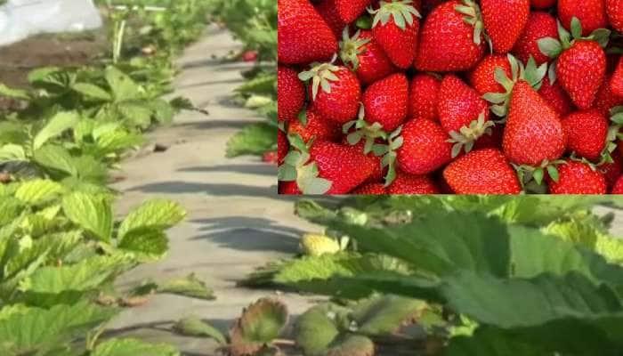 Junagadh: ખેડૂતોએ અખતરા માટે વાવી સ્ટ્રોબેરી, થયું મબલખ ઉત્પાદન