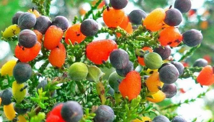 Fruit Salad Tree: એક જ વૃક્ષ પર 8 પ્રકારના ફળ, જાણો કેવી રીતે શક્ય બન્યો આ ચમત્કાર!