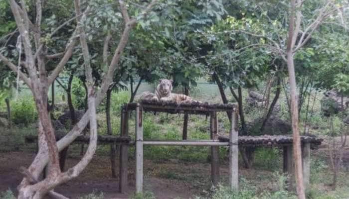 Rajkot: પ્રદ્યુમન પાર્ક ઝૂમ 450 પ્રાણી-પક્ષીઓ સ્વાસ્થ્ય, 16 સિંહ અને 10 વાઘણ તંદુરસ્ત