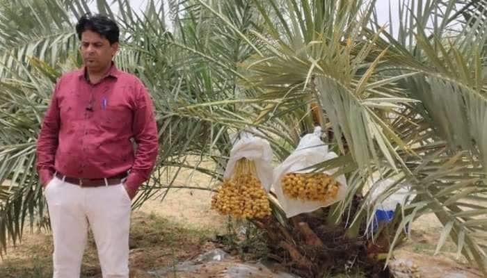 Kutch: દેશનું એકમાત્ર ડેમોસ્ટ્રેશન જ્યાં ૧૦૦ ટકા ડ્રીપ ઈરીગેશન અને મલ્ચીંગ પધ્ધતિથી ઉછરે છે બરહી ખારેક