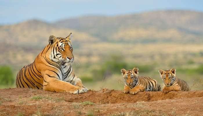 International Tiger Day 2021:ભારતમાં કેટલાં ટાઈગર રિઝર્વ છે? જાણો વાઘને બચાવવા PM મોદીએશું કહ્યું