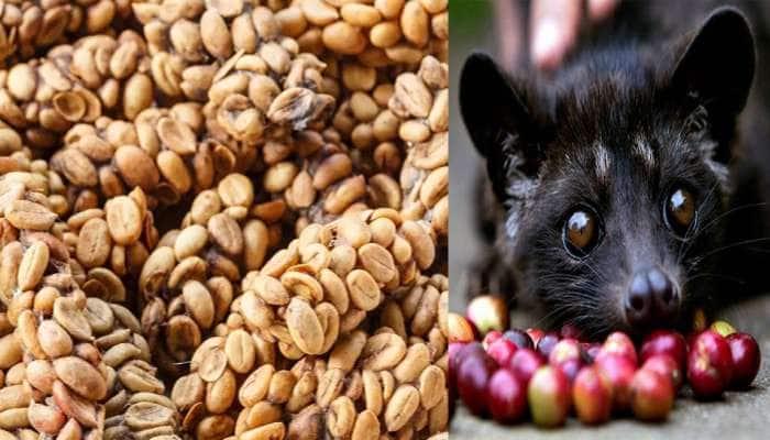 બિલાડીના મળમાંથી બને છે વિશ્વની સૌથી મોંઘી કોફી! જાણો કરોડપતિઓ કેમ રોજ આ કોફી પીવે છે?