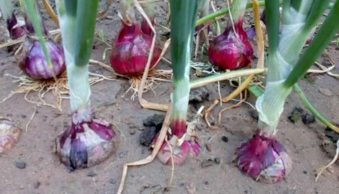 સૌરાષ્ટ્રમાં ભારે વરસાદથી ખેડૂતોને રડવાનો વારો આવ્યો, ડુંગળીના પાકને ભારે નુસકાન