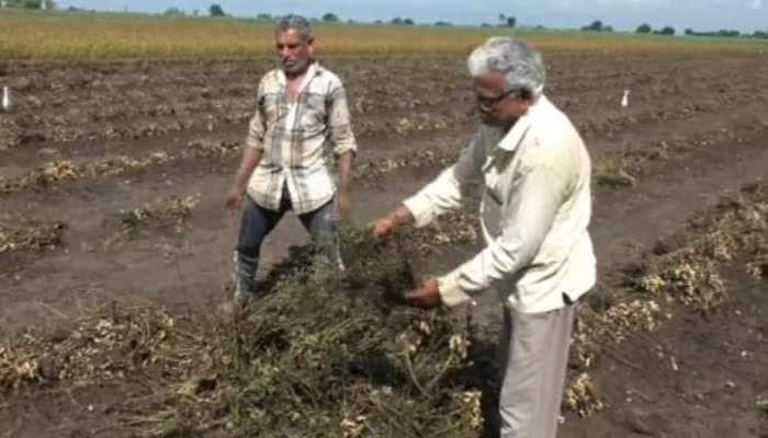 Rajkot: ખેડૂતોની મુશ્કેલી વધી, ભારે વરસાદને કારણે મગફળી અને સોયાબિનના પાકનું ધોવાણ, સરકાર પાસે કરી વળતરની માંગ